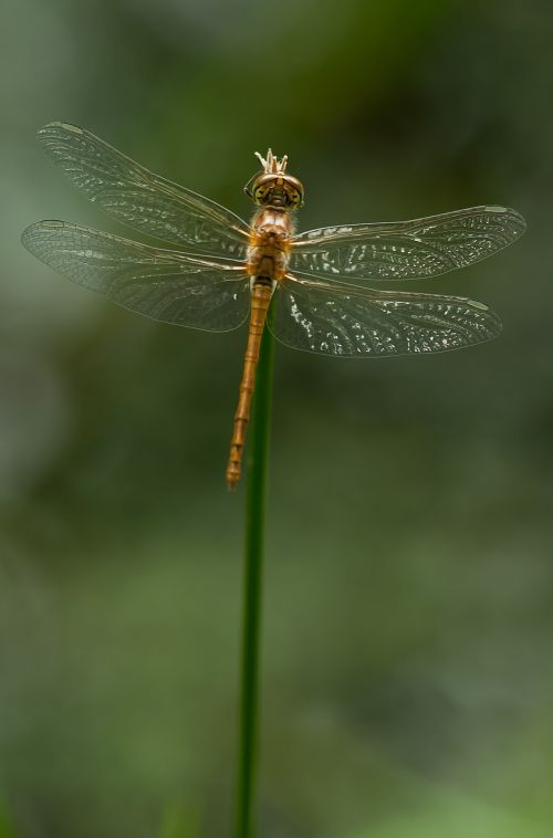 sympetrum striolatum dragonfly darter