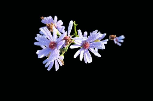 symphyotrichum laeve smooth aster isolated