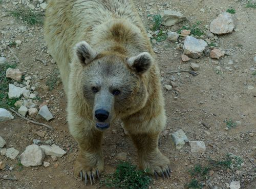 syria bear claws