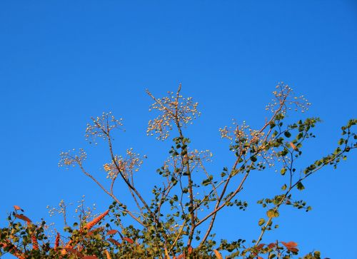 Syringa Berries Against Blue Sky