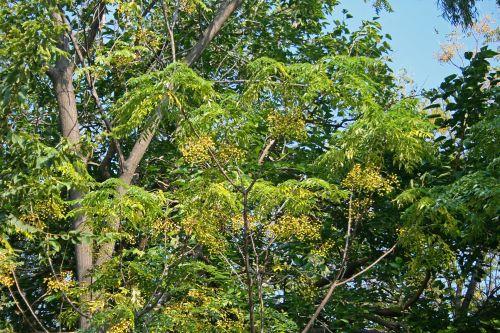 Syringa Tree With Leaves & Berries