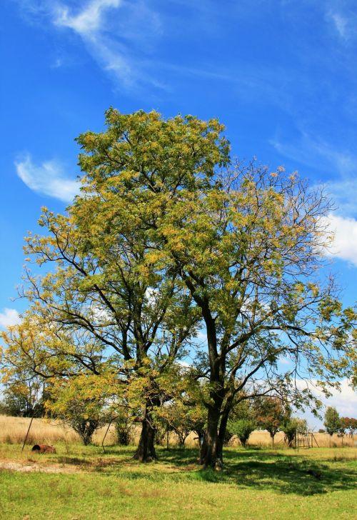 Syringa Trees In Seed