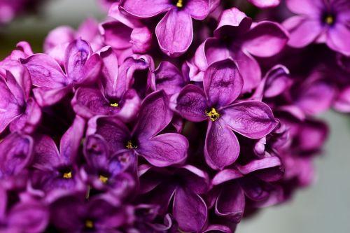 syringa vulgaris purple lilac lilac