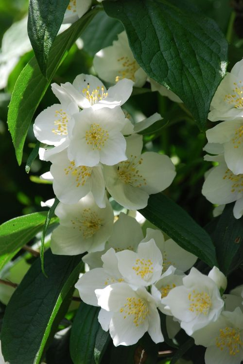 syringa vulgaris mock orange flower