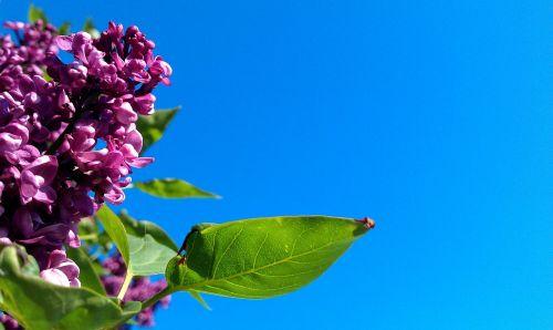 syringa vulgaris violet lilac