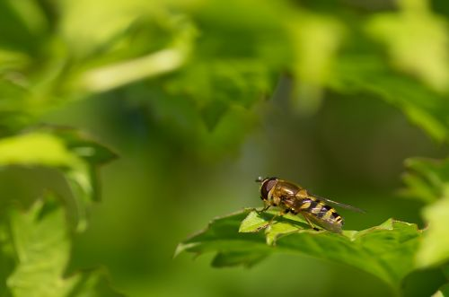 syrphid belted browser spring