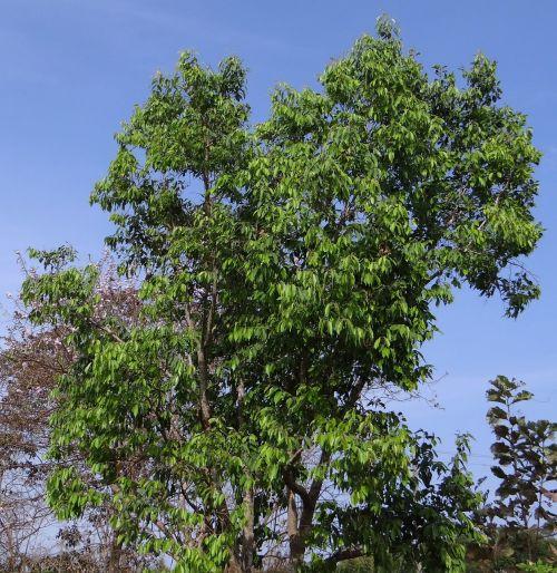 syzygium,Cumini,jamun medis,gervuogių medis,Indijos,medis,ekologiškas,Žemdirbystė,lauke,aplinka,bagažinė,lapai,filialai