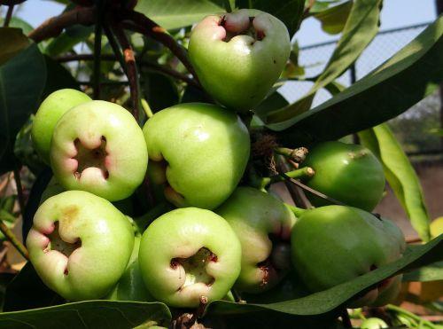 syzygium samarangense fruit tropical