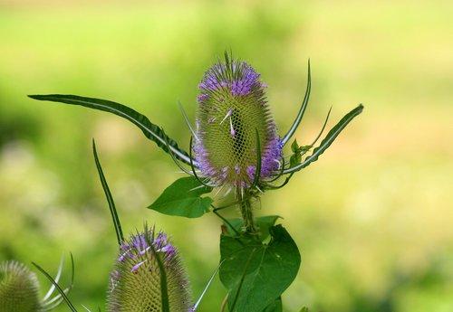szczeć  dipsacus  plant