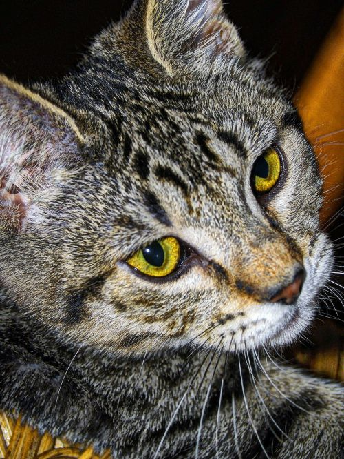 tabby striped cat
