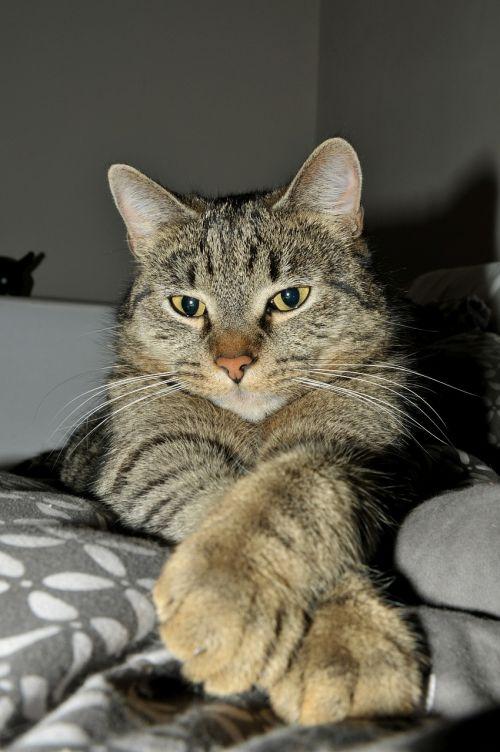 tabby cat idle cat