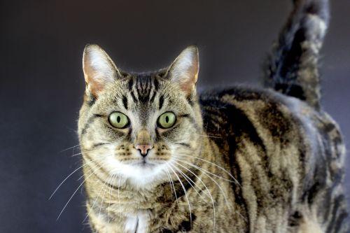 Tabby Cat Dark Background