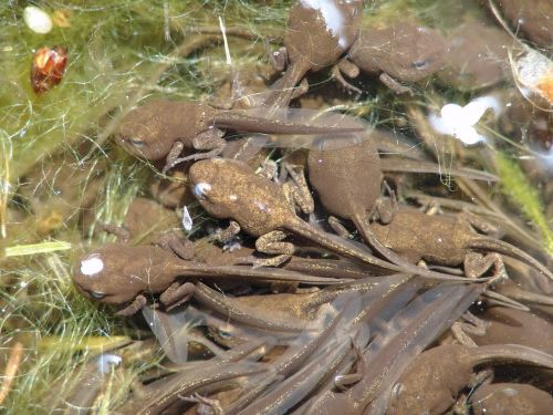 tadpoles animal frog