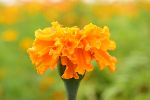 tagete marigold blossom