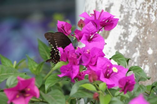 tags separated by commas to spend bougainvillea green