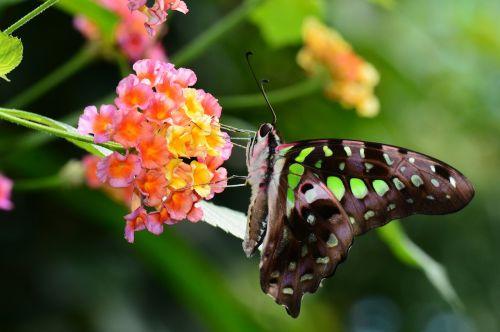 tailed jay,drugelis,žalias,vabzdys,laukinė gamta,grafium,agamemnon,fauna,sparnas,bestuburiai,entomologija,sodas,maitinimas,nektaras,žiedadulkės