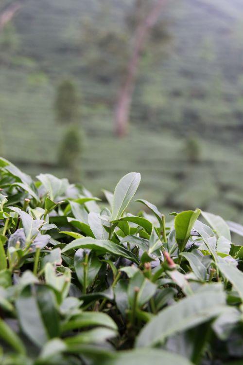 taiwan tee plantation
