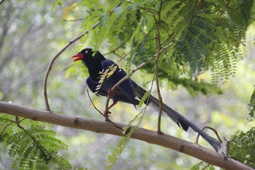 taiwan blue magpie  taiwan dark blue magpie  red-billed hill magpie