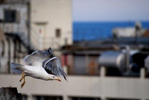 takeoff  flight  seagull