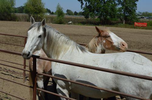 talahi ruff stock horse