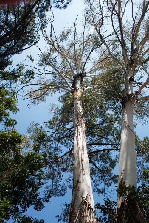 Tall Blue Gum Trees In Sunlight