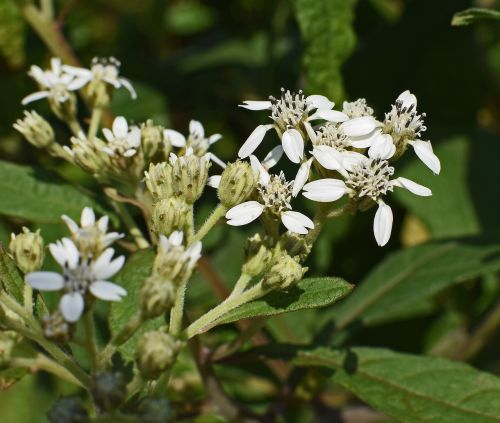 tall boneset flower wildflower