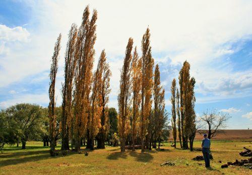 Tall Dimension Of Poplars