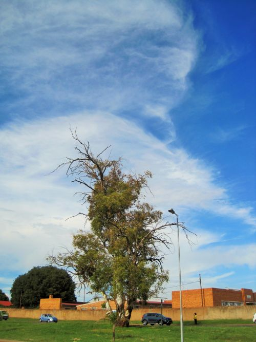 Tall Eucalyptus Tree