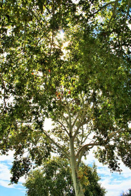Tall Maple Tree