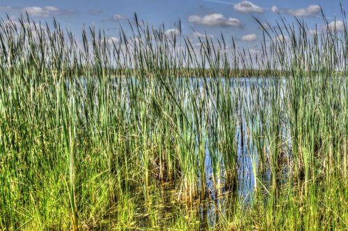 Tall River Grass
