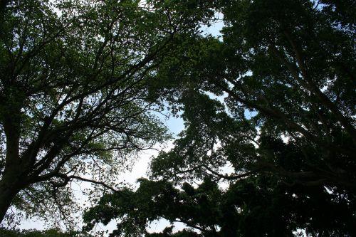 Tall Tree Tops
