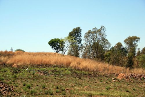 Tall Trees In The Veld