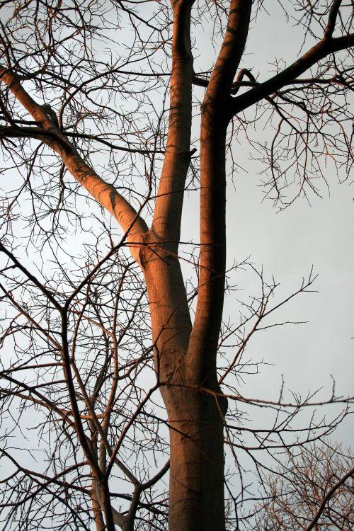 Tall White Stinkwood