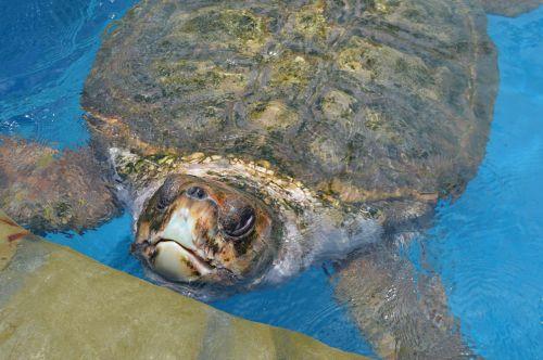 tamar project giant tortoise bahia