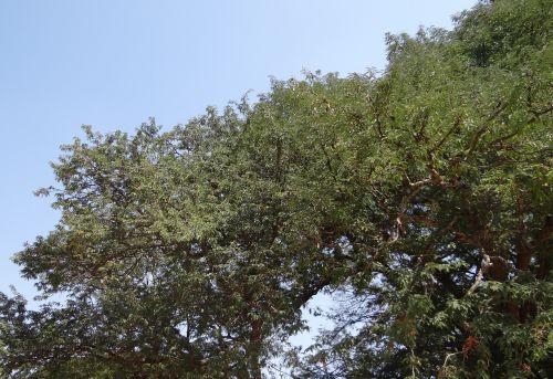 tamarind tree tamarindus indica fruit