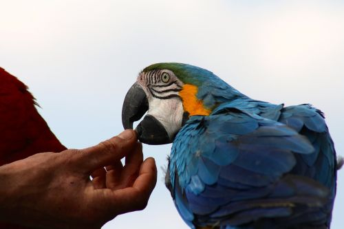 tame blue macaw,blue parrot feeding,hand fed parrot