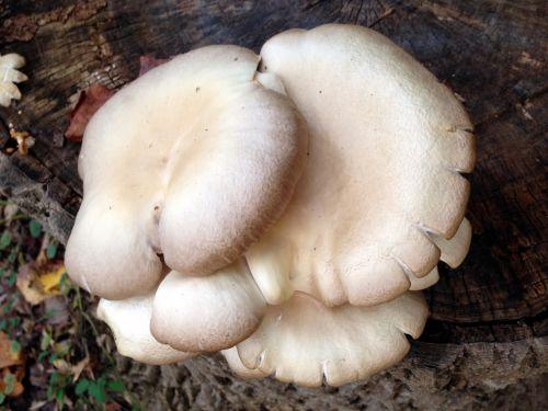 Tan Mushroom Cluster
