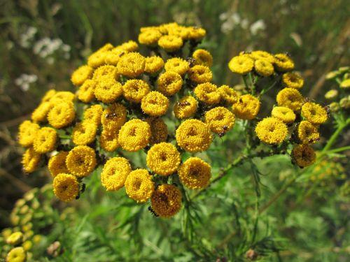 tanacetum vulgare tansy common tansy