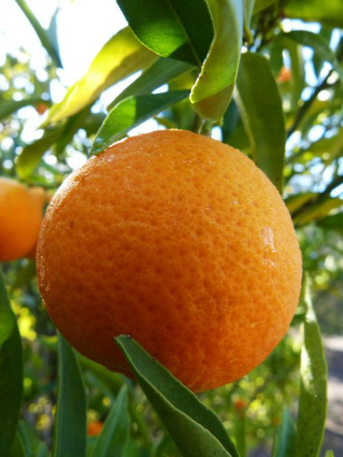 tangerine mandarin citric