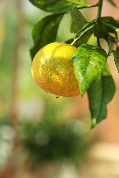 tangerine  citrus  orange
