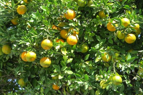 tangerine citric tree