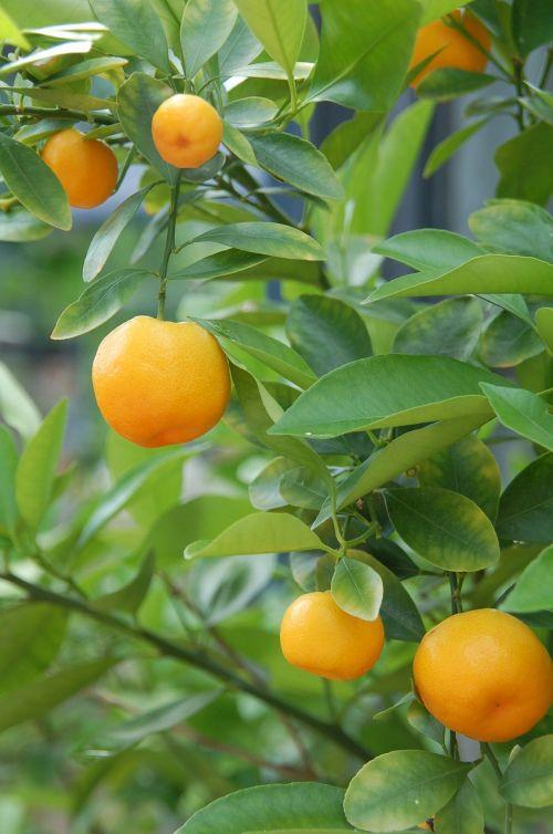 tangerines oranges citrus fruits