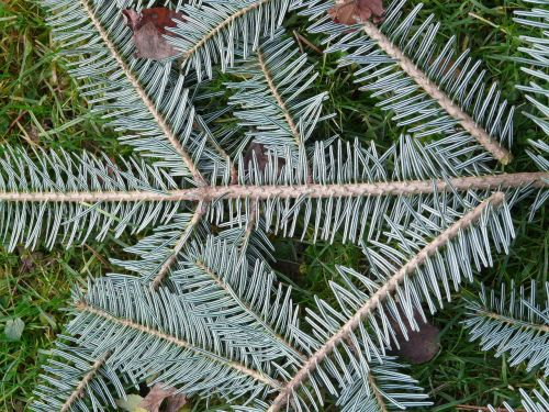 tannenzweig pine needles fir