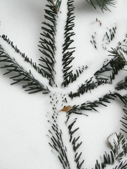 tannenzweig pine needles needles