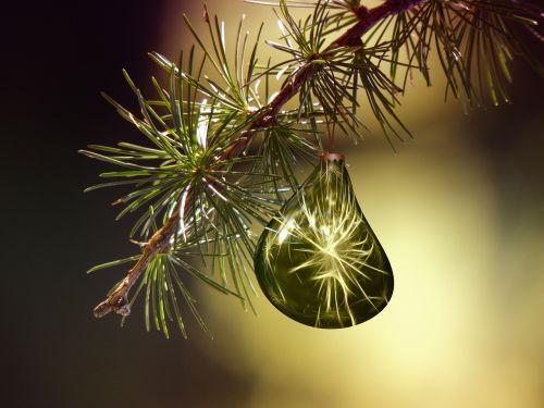 tannenzweig fir branch