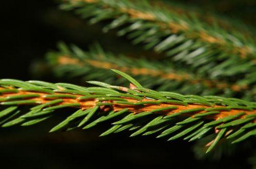 tannenzweig fir green