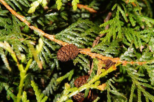 tannenzweig pine cones green