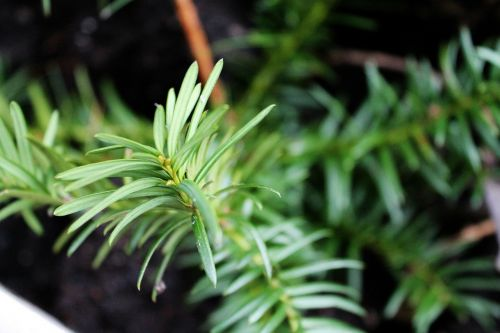 tannenzweig holly forest
