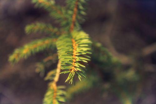tannenzweig needles fir