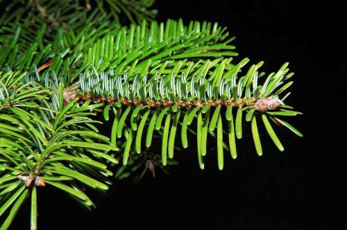 tannenzweig needles green